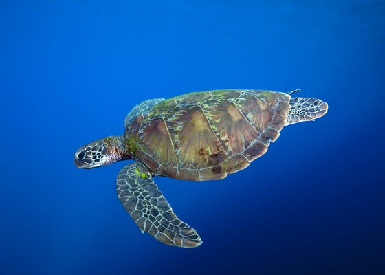 Green Sea Turtle in West Papua Province, Indonesia