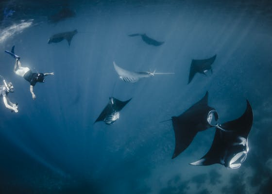 Due to their popularity with divers, manta rays in the Bird's Head Seascape bring in about one million dollars to the local community over their lifespan.