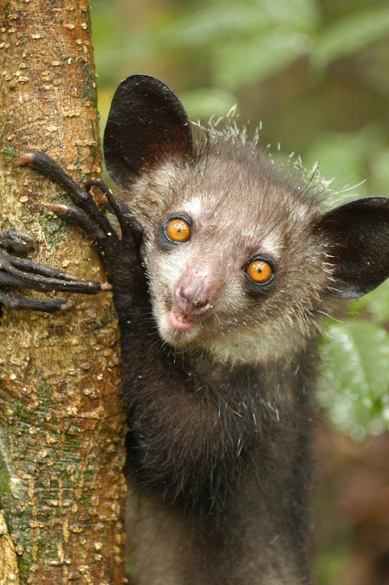 An aye-aye lemur in Madagascar