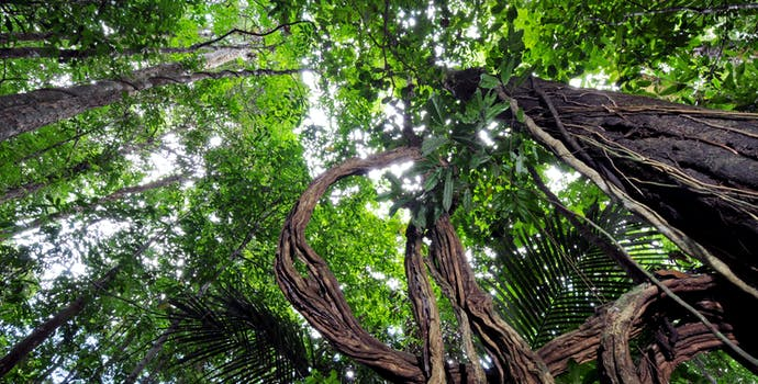 Looking up at the canopy in the Amapá State Forest, Brazil