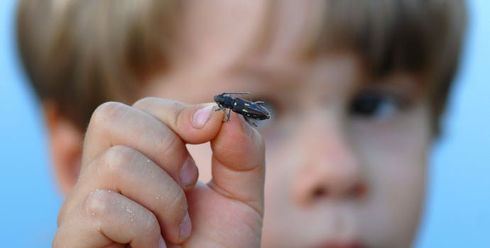 A Bolivian boy examines a long-horned beetle.