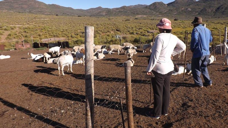Katrina counting livestock in Namaqualand.