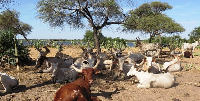 Bol area, Chad - Kuri cattle, an endemic breed, which can only be found along the shores of Lake Chad
