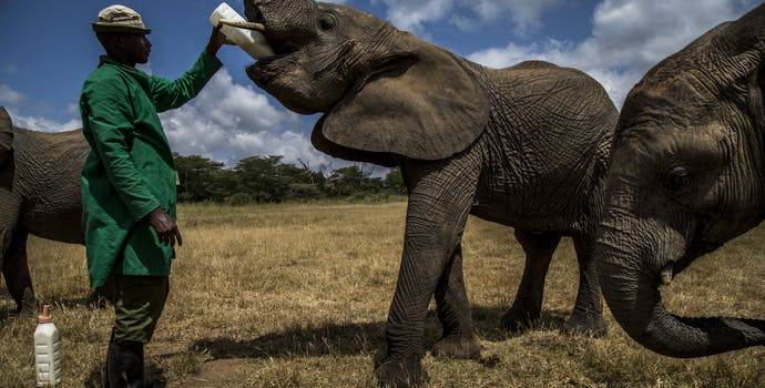 Orphaned elephants are fed by their keepers at the David Sheldrick Wildlife Trust center in Kibwezi, Kenya