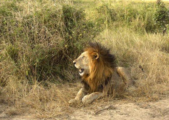A lion lounges in the the grass in Tanzania.