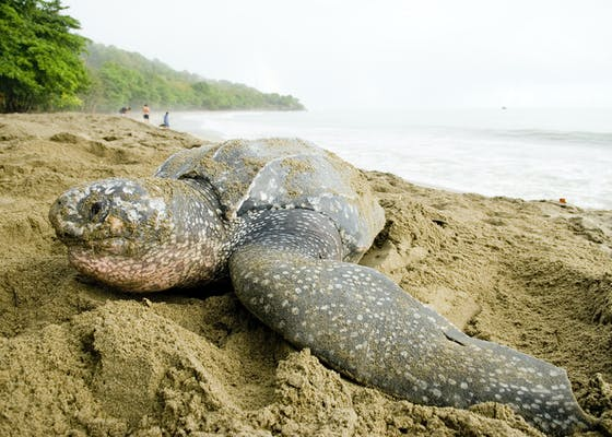 A leatherback turtle (Dermochelys coriacea) camouflages her nest on Trinidad s Grand Riviere beach.