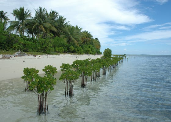Young mangroves planted in a line