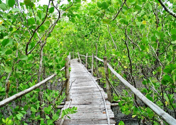 A boardwalk running through a mangrove forest in Silonay, Philippines