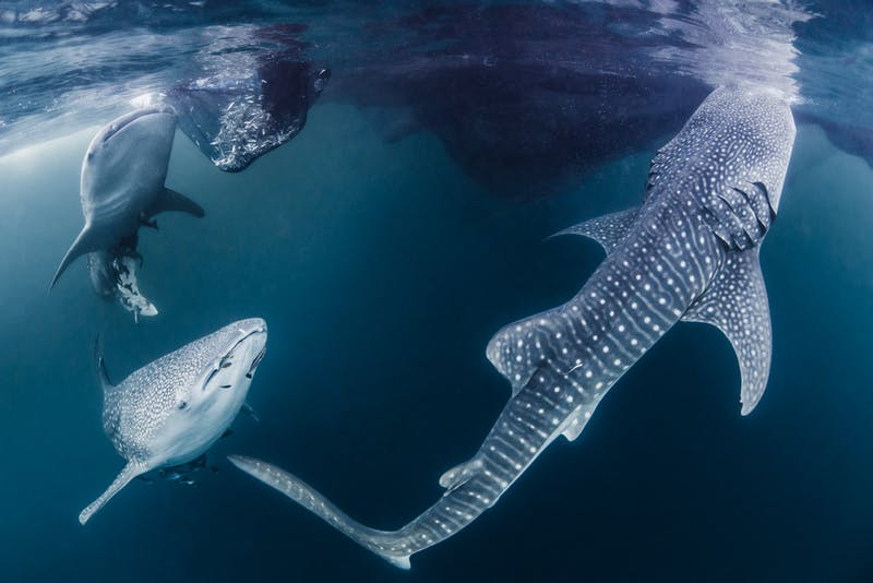 Three young whale sharks looking for a meal