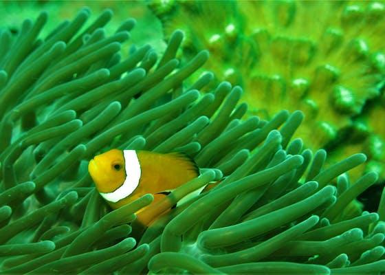 A clown fish in Raja Ampat, Indonesia