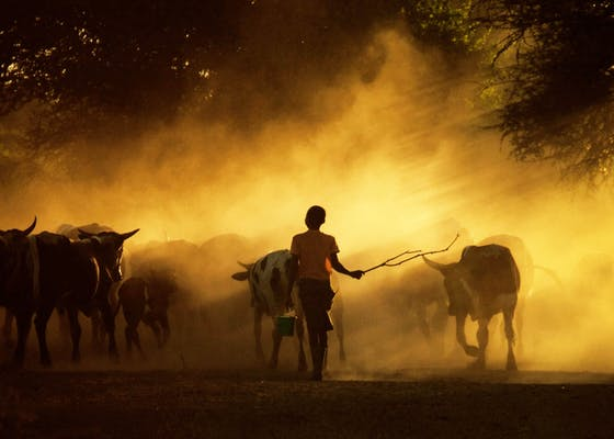 Cattle coming in from the fields in the evening in Lhate Village, Chokwe, Mozambique.