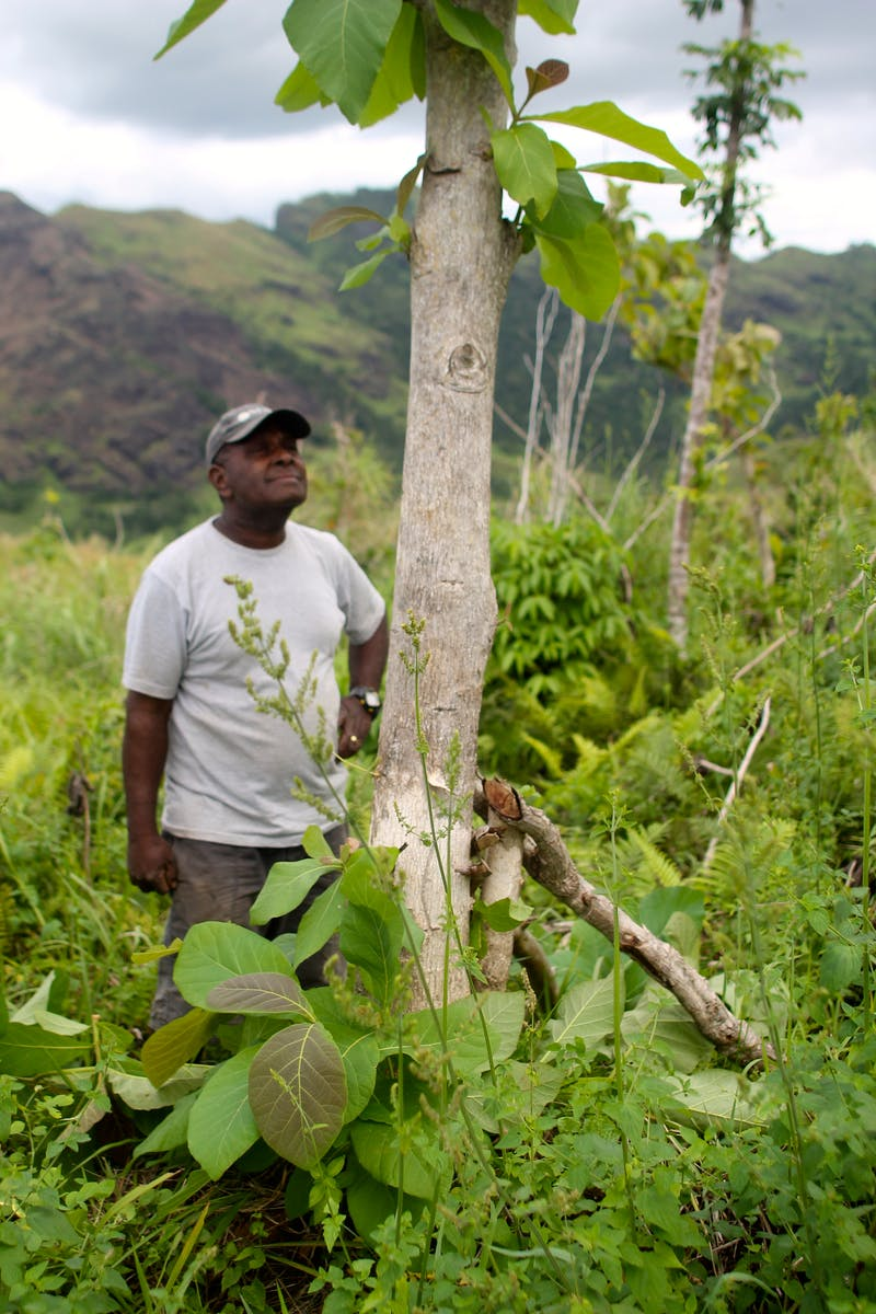 Newly planted trees for Tokimalo, Fiji reforestation project