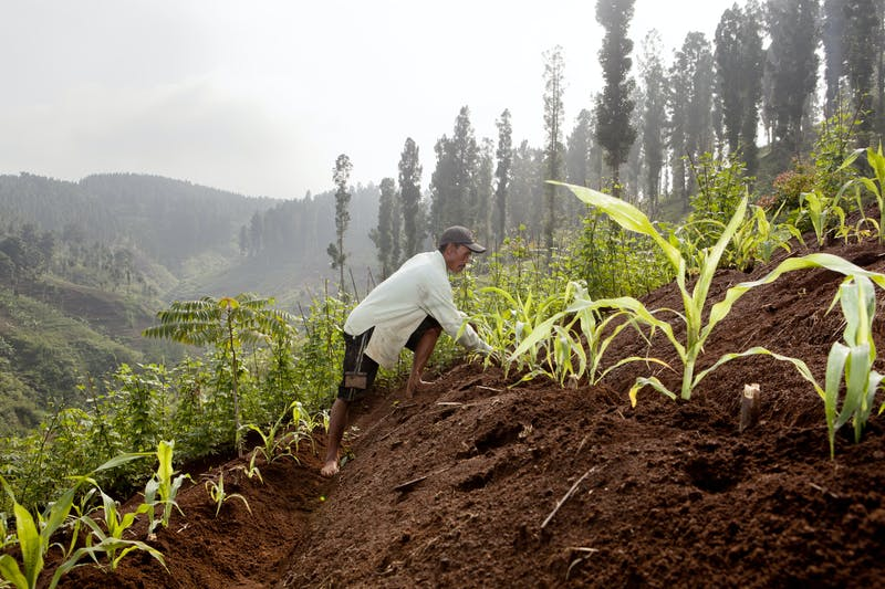 Local farmer plants crops in Gunung National Park in Indonesia.
