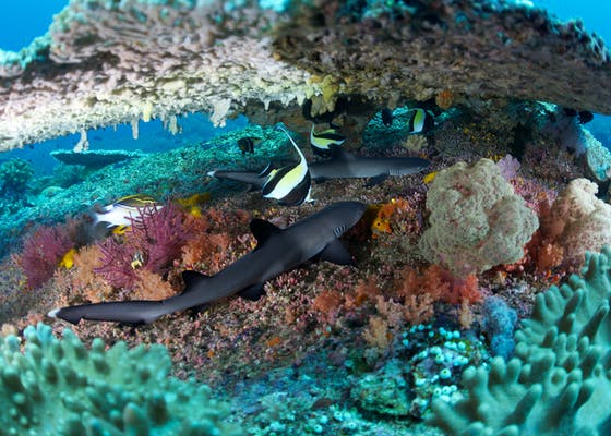 In a coral reef, resting beneath Table Coral (Acropora sp.) are two Whitetip Reef Sharks (Triaenodon obesus) along with a Moorish Idol (Zanclus cornutus) in Southeast Misool Marine Protected Area (MPA).