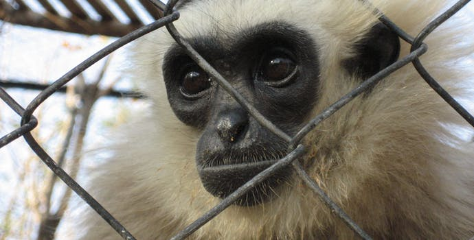Gibbon rescued from wildlife trade and placed in a rescue center.