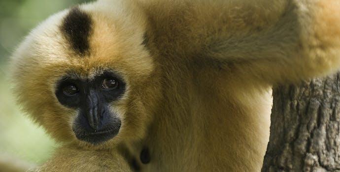 Yellow cheeked crested gibbon (Nomascus gabriellae) taken at the Phnom Tamao wildlife sanctuary.