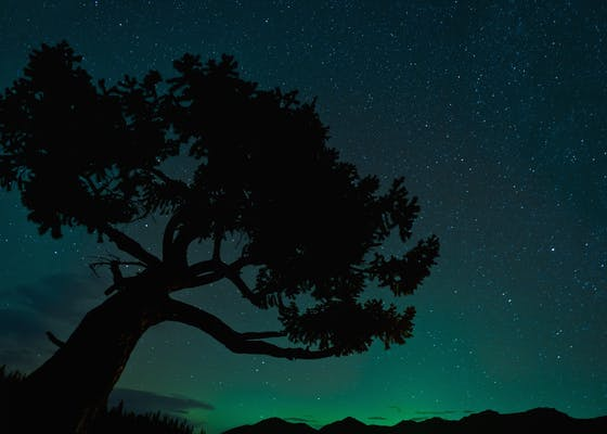 Silhouette of tree against the northern lights in Jasper National Park