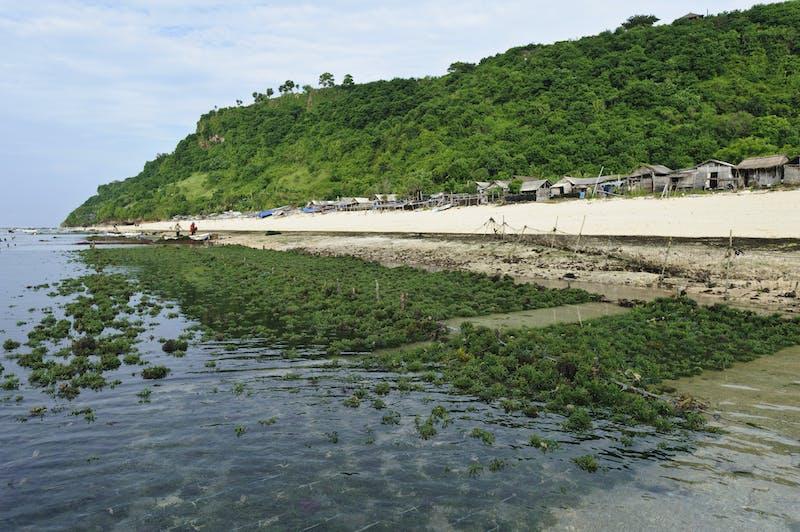 Seaweed growing along the beach, Kutuh, Bali, Indonesia.