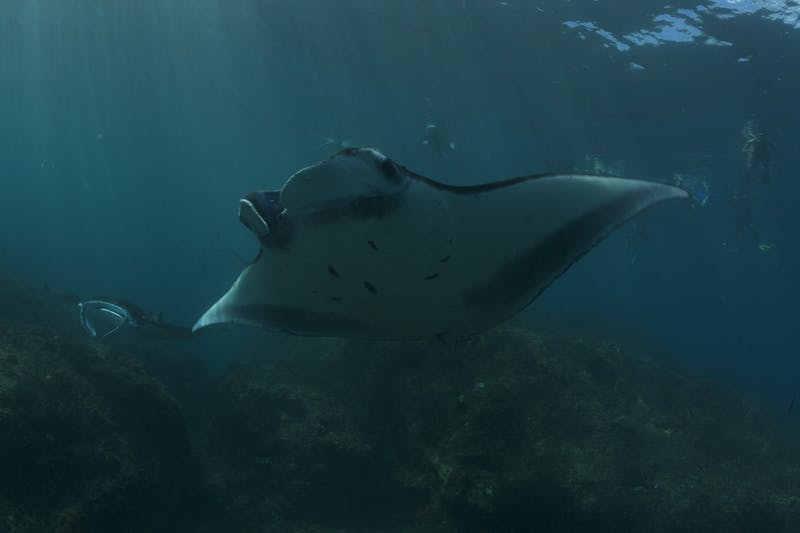 Manta rays off Nusa Penida in Bali, Indonesia.