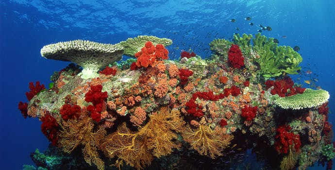 Coral reef: hard corals, soft corals and tropical fish.