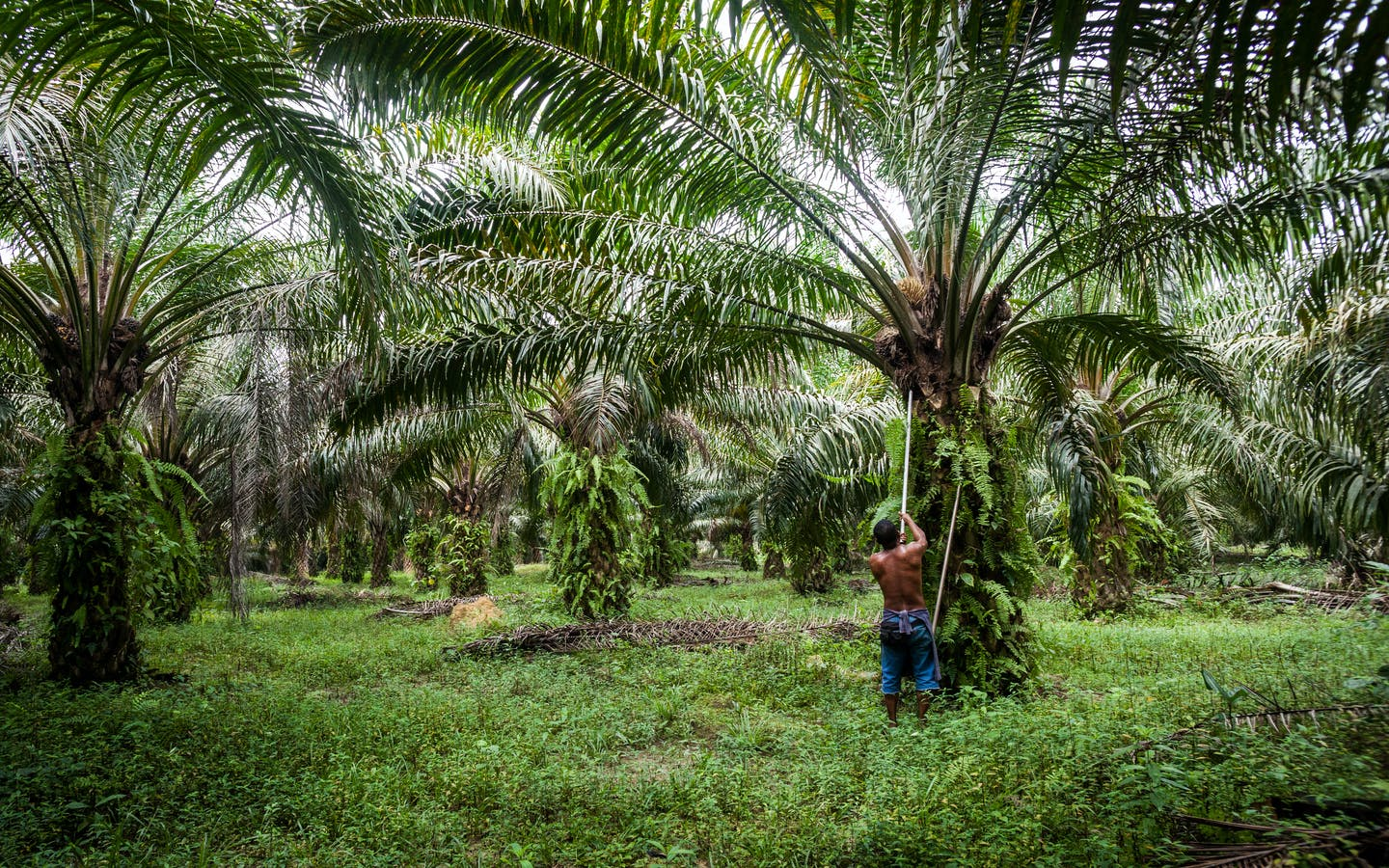 Azman harvests oil palm fruit near Pasoh Forest Reserve.