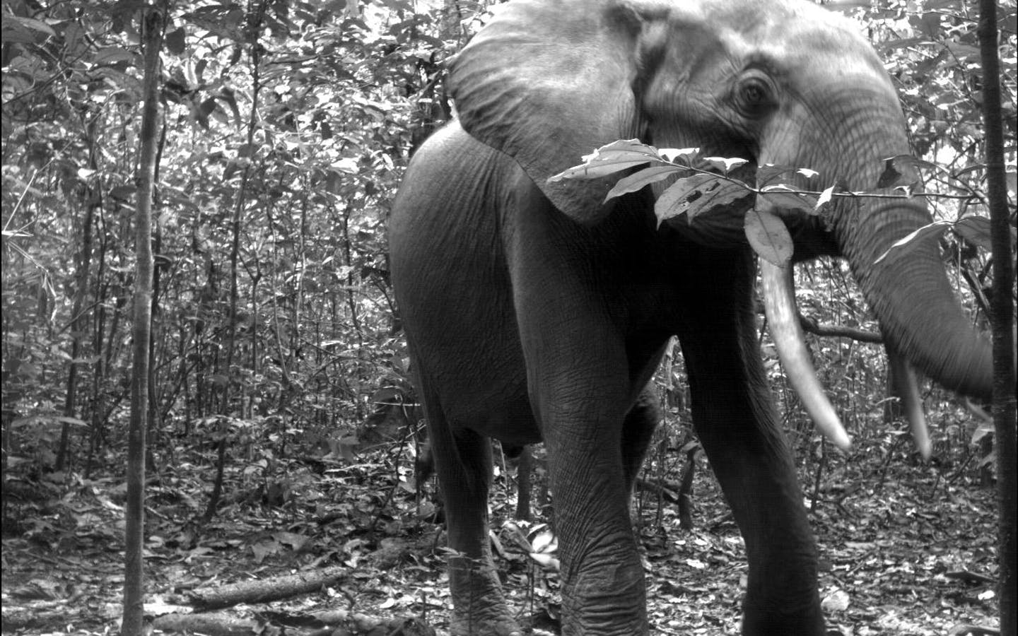African forest elephant (Loxodonta cyclotis) from TEAM's site in Nouabale Ndoki National Park, Republic of Congo.