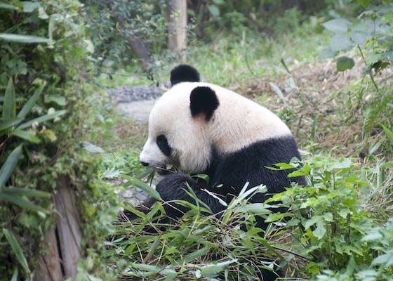 Juvenile panda eating bamboo
