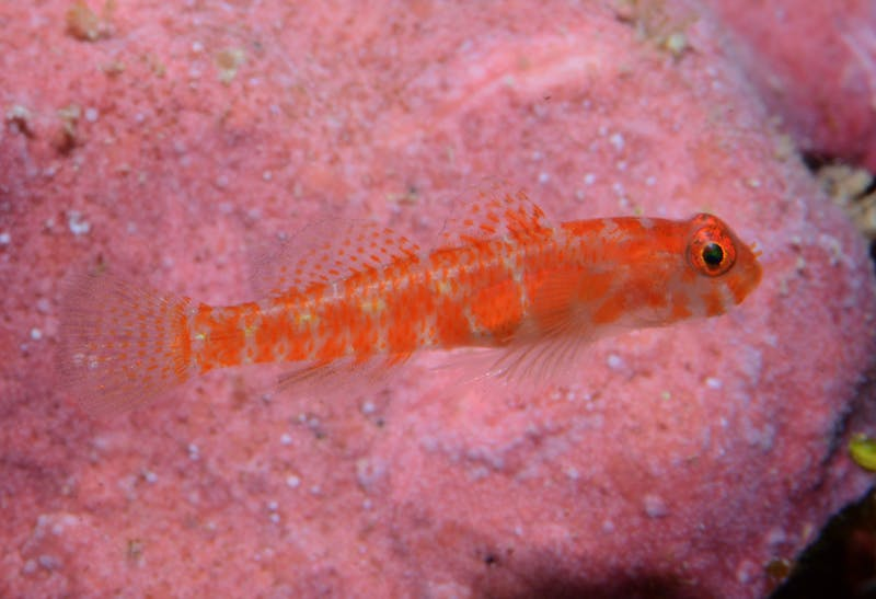 Likely new species of coral dwarfgoby