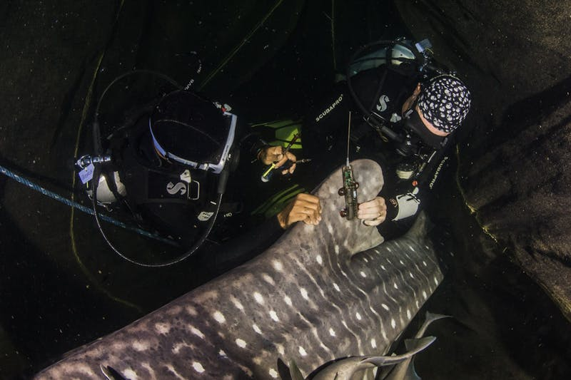Scientists attaching a dorsal fin tracker to a whale shark