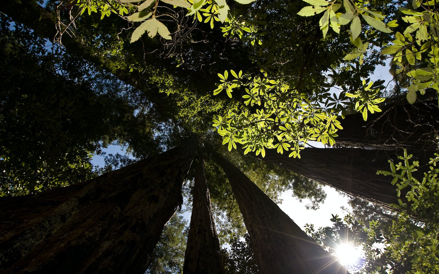 Forest canopy of Redwoods and Douglas firs in afternoon light
