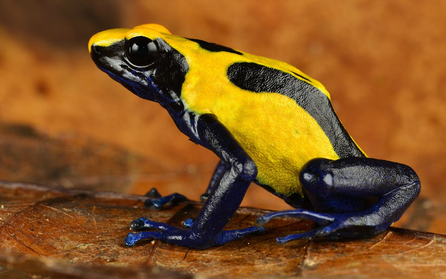Colorful poison-dart frogs are among the most spectacular of South America's biodiversity.
