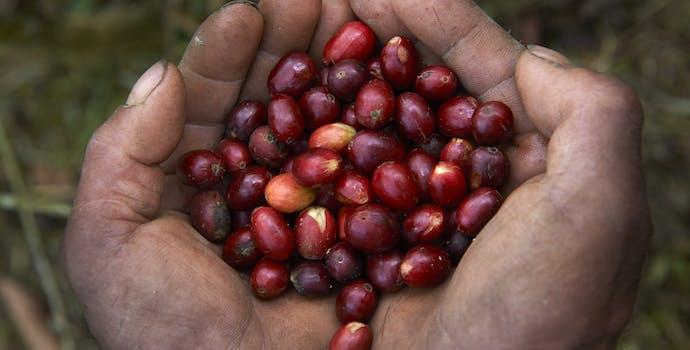 Man holding coffee berries