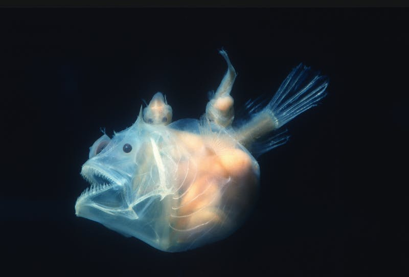 Angler fish, Edridolychnus schmidti. The larger female has two smaller parasitic males attached to her body which fertilise her eggs