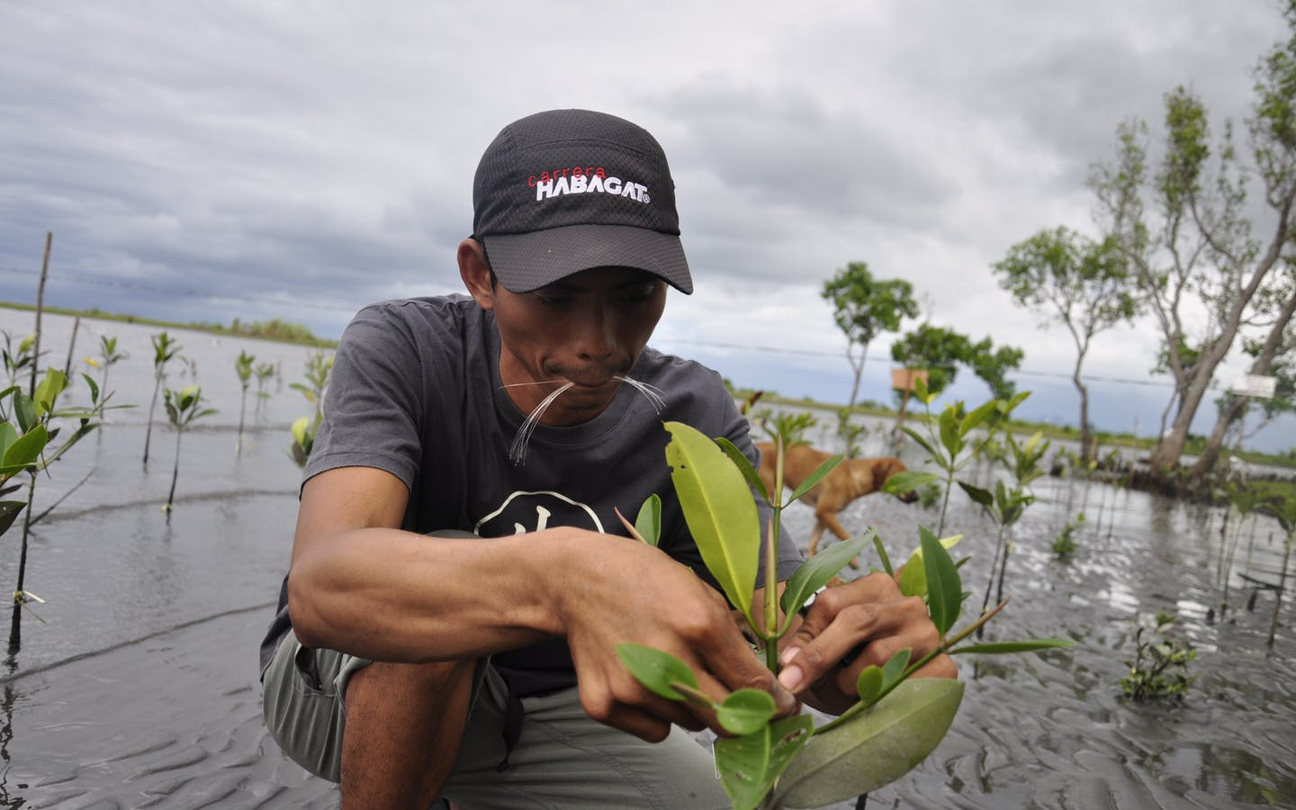 Measuring the growth of a newly planted mangrove.