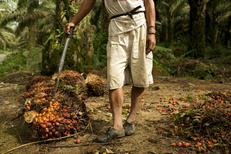 Palm oil fruit bunches harvested by a day laborer in Sumatra, Indonesia