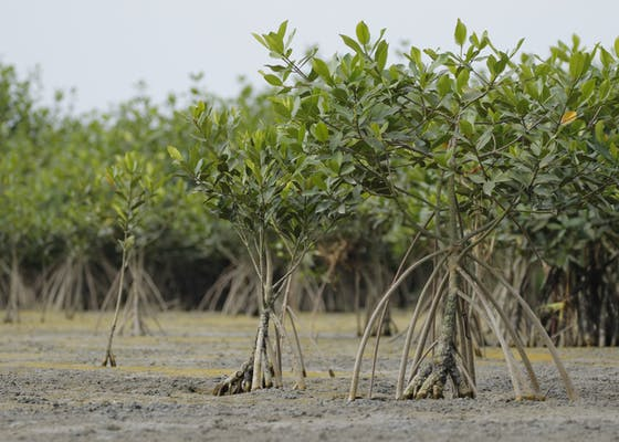 Mangroves sprouting near the coast of Ecuador