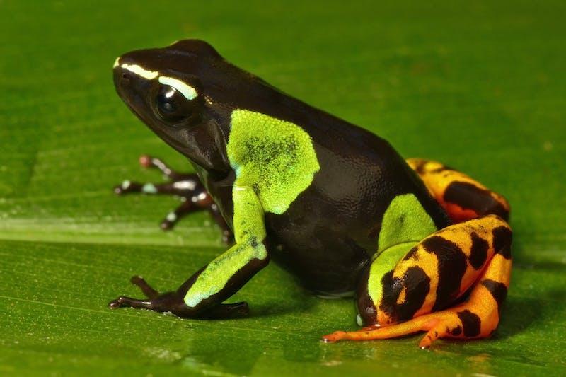 Frog (Mantella baroni)