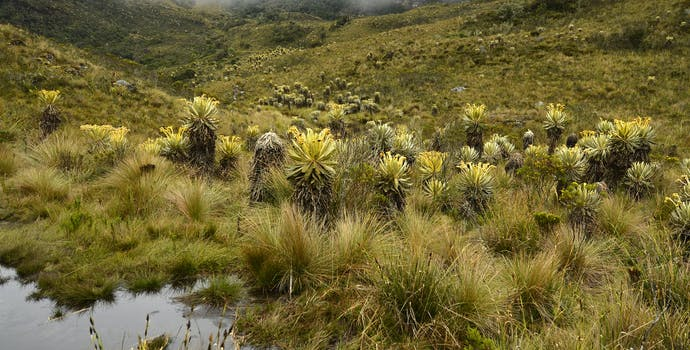 Much of South America's water originates in the high Andes. Paramo vegetation acts like a sponge to absorb water which is then delivered to people downstream.