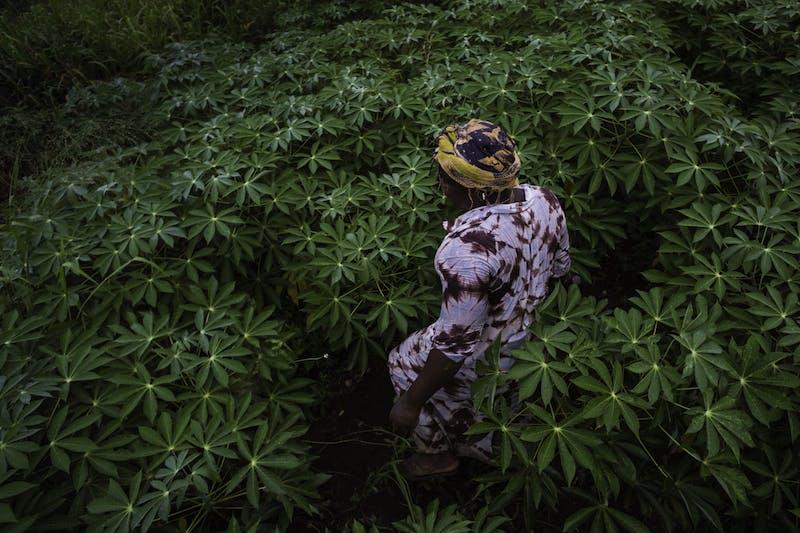 Comfort Dankwa weeds her cassava crop in Okwabena, Ghana, at first light.
