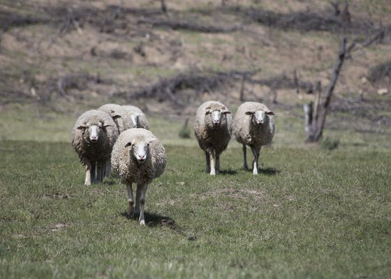 Sheep in Eastern Cape, South Africa