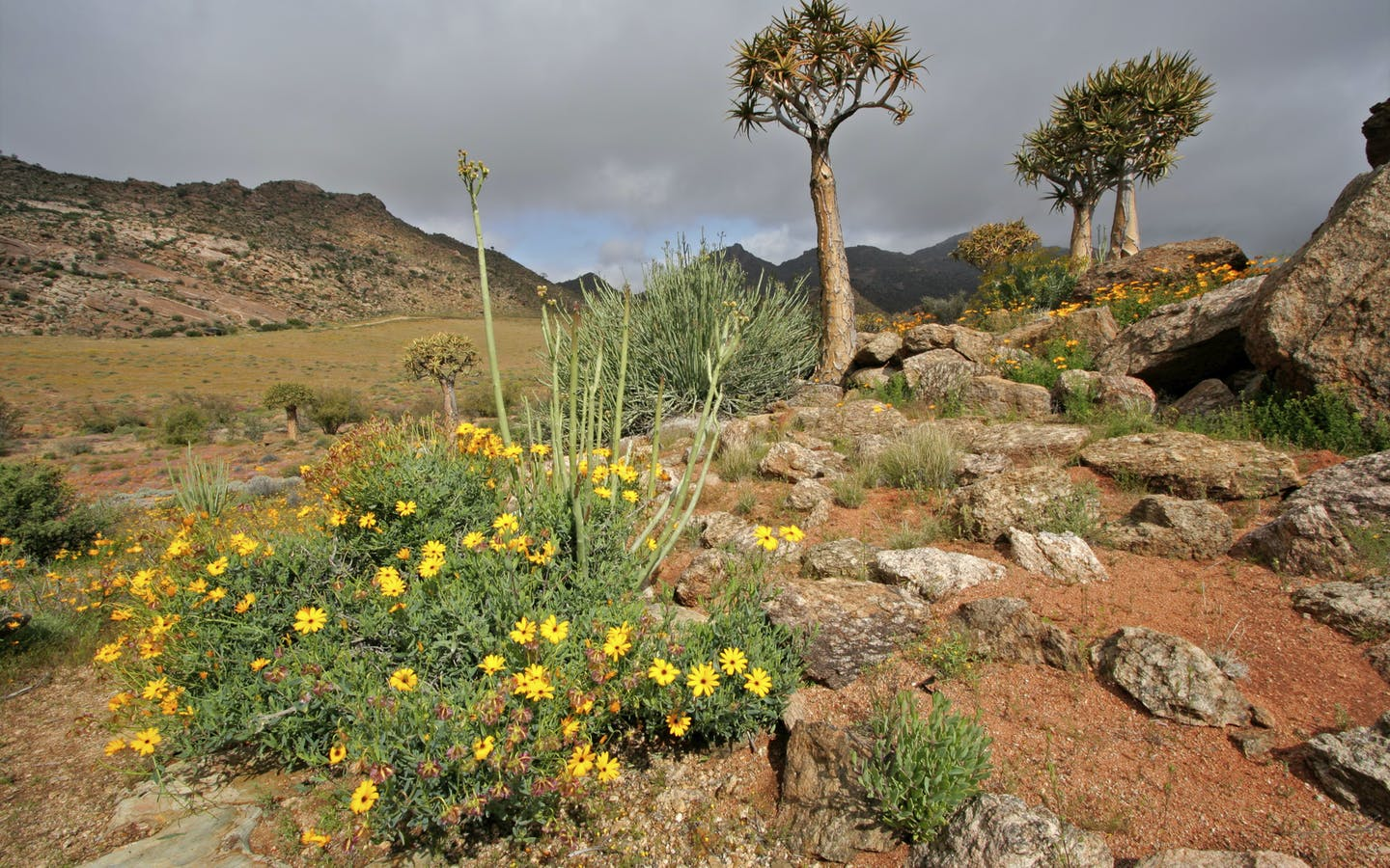 Landscape with wild flowers and quiver trees (Aloe dichotoma), Namaqualand, South Africa.