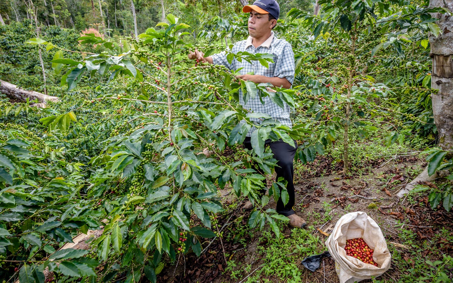Mursal Sutami Lubis harvests coffee from his arabica coffee trees in Simpang Banyak village, Mandailing Natal, North Sumatra.