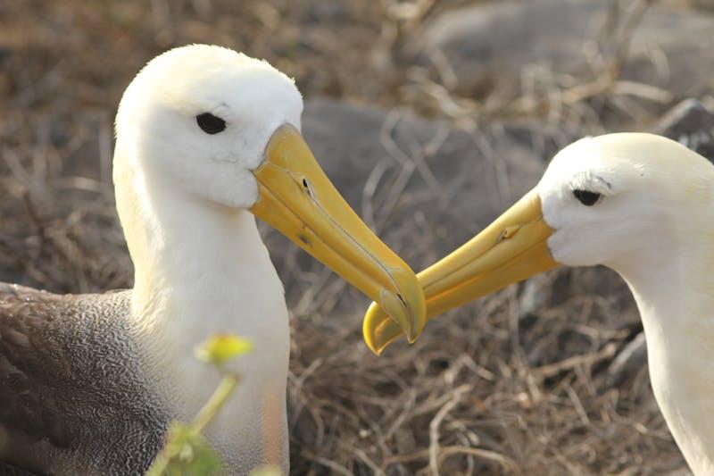 Albatross love in Ecuador