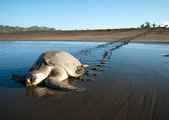 A female sea turtle makes her way back to the ocean after laying eggs.