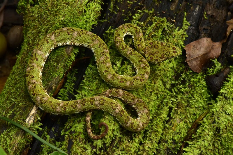 An eyelash viper in Honduras