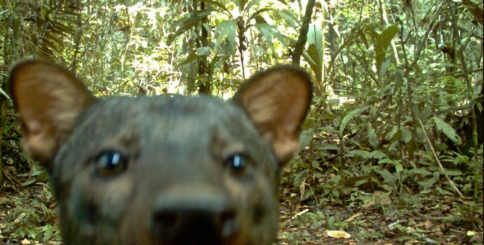 Yasuní Camera trapping photos. This short ear dog is a rare species and very difficult to observe in the wild.