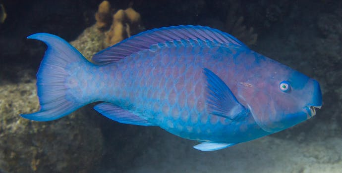 Blue parrotfish, Honduras