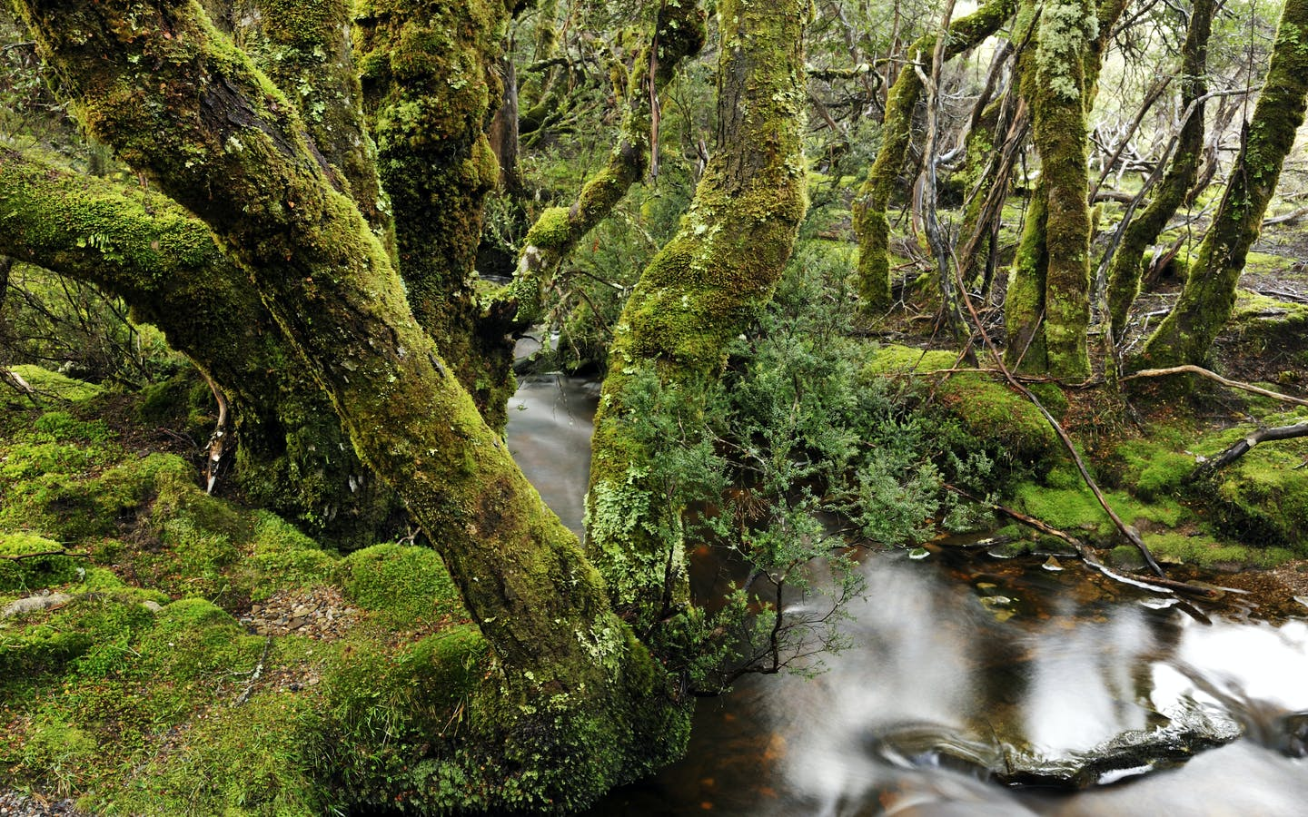 Tasmanian old rainforest and stream