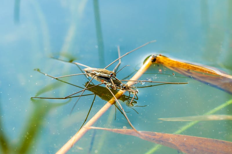 Mating pair of Water Striders in a pond on surface