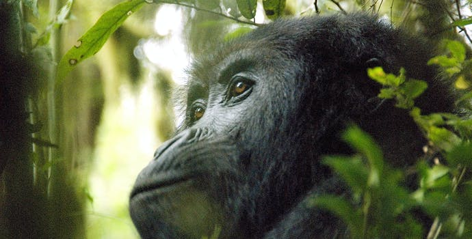 Gorilla in the Democratic Republic of the Congo